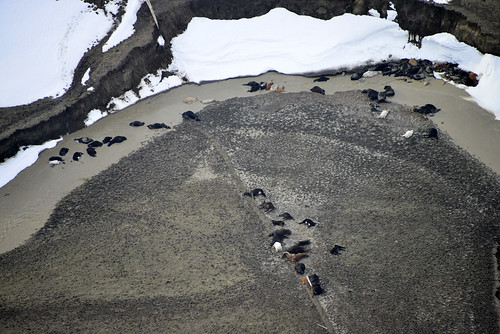 This is an aerial view of cattle killed by the Atlas Blizzard in South Dakota on Oct. 10, 2013. Civil Air Patrol photo by David Small.