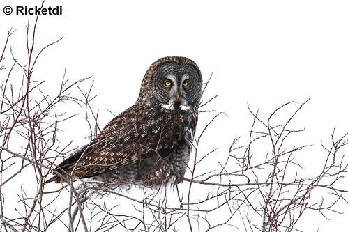 chouette lapone -great gray owl  ( Richard)