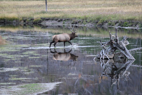 IMG_2316_Bull_Elk_on_West_Entrance_Road