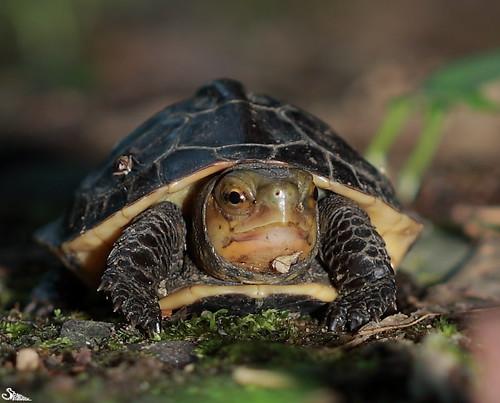 食蛇龜,圖片來源:林哲安