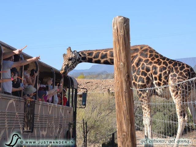 PIC: African Bush Safari - People feeding the Giraffe