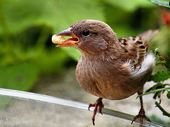 I am only a dowdy Sparrow