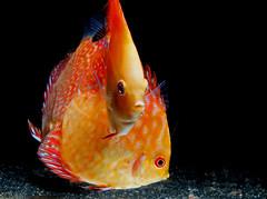 Junge Diskusfische