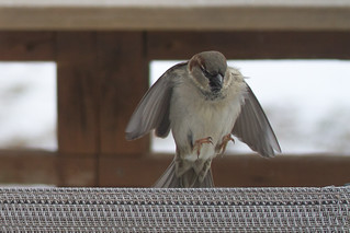 House sparrow landing on a chair