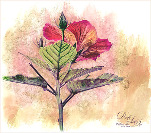 Red Hibiscus bloom image with new texture in background