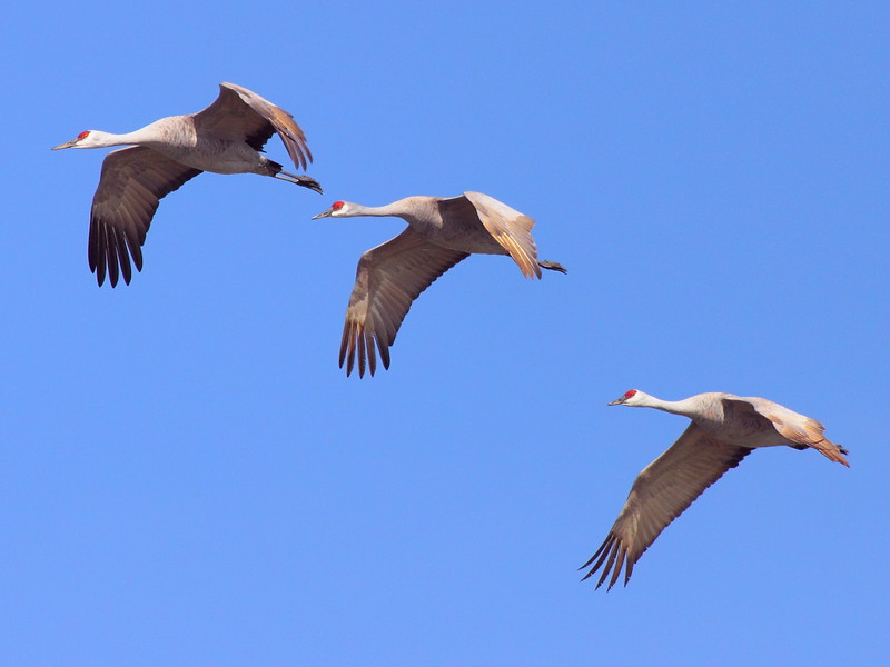 IMG_7417 Sandhill Cranes