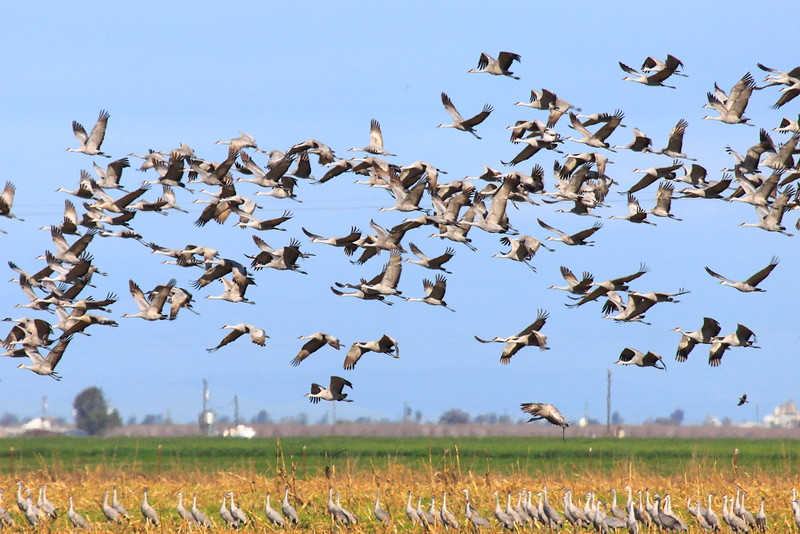 IMG_0150 Sandhill Cranes