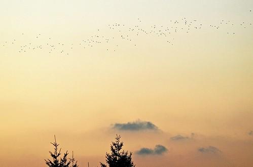 trees sunset clouds chinesenewyear crows sunsetclouds eveningskies sunsetskies wonderfulskies treesinmist treesinclouds mistyscenes likeachinesepainting swarmsofcrows cloudsinmist crowsflyinghometoroos photoorchinesepainting