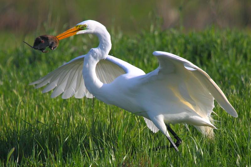 IMG_7844 Great Egret