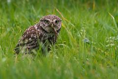 Little owl @ breakfast