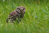 Little owl @ breakfast