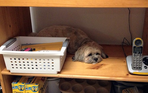 Scout makes herself at home on the kitchen shelf.