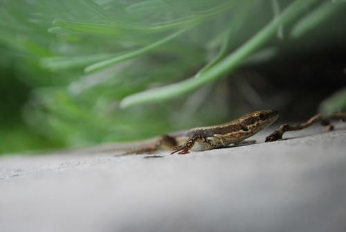 green nature animal fauna lizard slovenia creativecommons slovenija carso lucertola rettile stanjel sooc