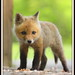 Red Fox Kit- Vulpes vulpes