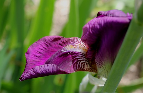 Iris pourpre ancien