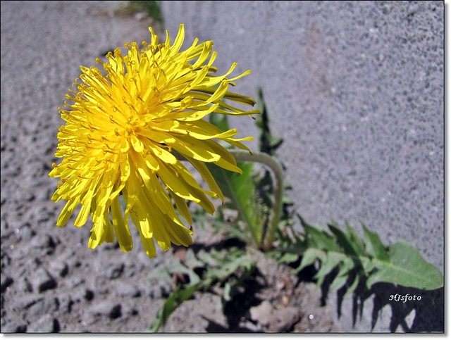 The first dandelion