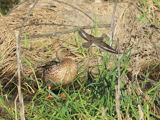 Spotted Sandpiper and Mallard 20130515