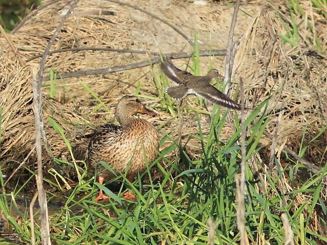 Spotted Sandpiper and Mallard 20130515
