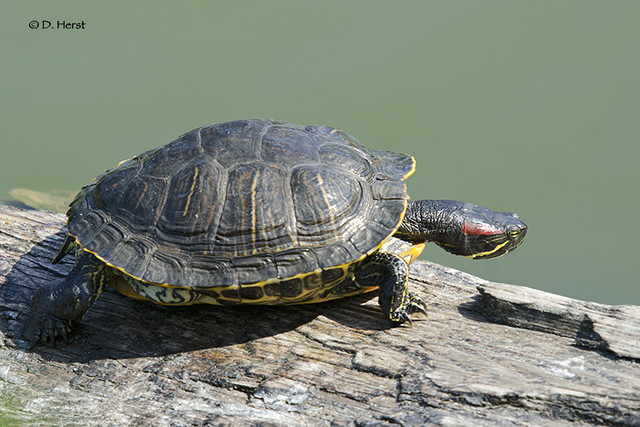 Red-eared Slider Turtle Flickr - Photo Sharing!