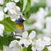 Northern parula in apple blossoms