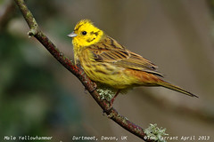 Yellowhammer - Photo (c) Tom Tarrant, some rights reserved (CC BY-NC)