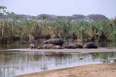 African River Scene with Hippos, Aug 1986, Burundi img447