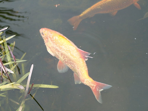 Golden orfe fungus in spring fish diseases and parasites for Fungus on fish