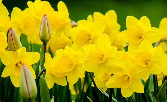 Daffodils, Yellow, Green, Flowers, Spring, Tulips