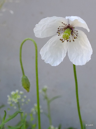 Macul alb / The white poppy by cdnh
