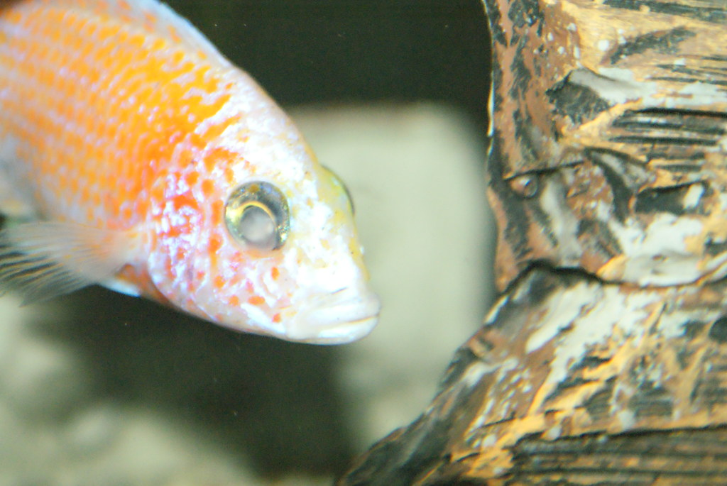 Cichlid forum white cloudy eyes and mouth fungus for Fungus on fish