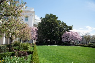 The Jackson magnolia tree outside the White House South Portico, photographed from the Rose Garden, April 3, 2009.  (Official White House Photo by Samantha Appleton)