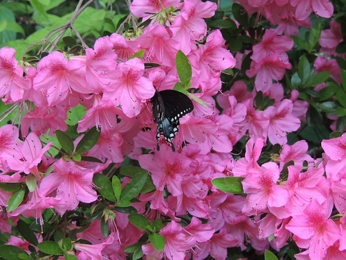Butterfly on Azalea in Lendonwood Gardens