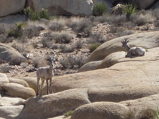 Ryan Ranch Homestead Bighorn Sheep 2