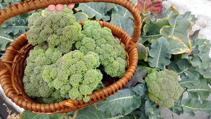 broccoliWP_20130603_048