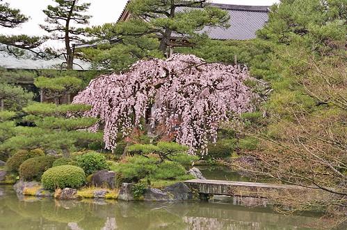 【写真】桜 : 平安神宮