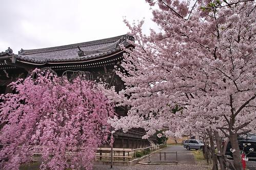 【写真】桜 : 立本寺(2)