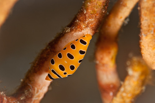 Ovulidae - Primovula sp found in okinawa