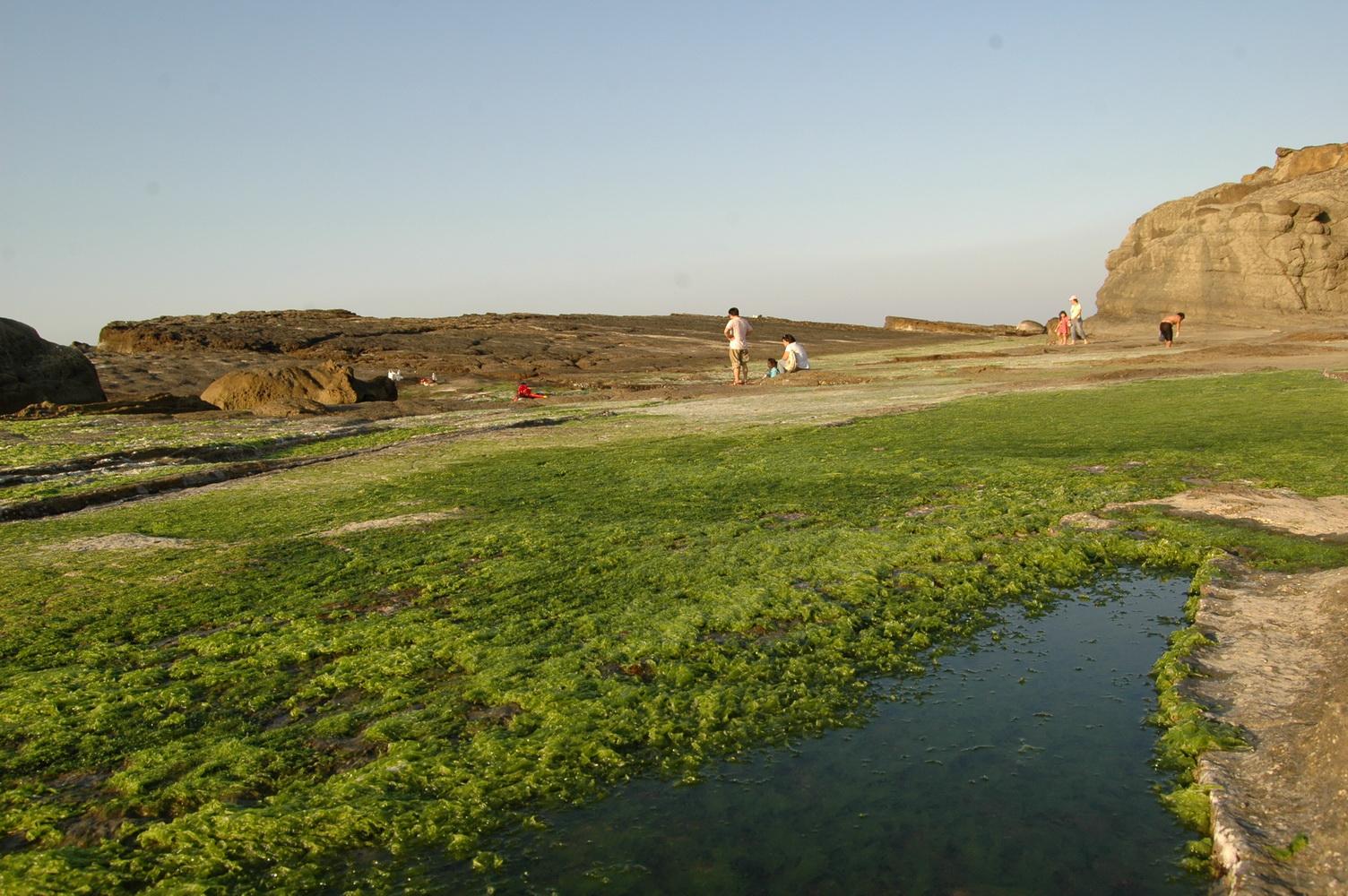 春天的海蝕平台是一片綠油油「藻田」的景象。圖片來源:方雅芬