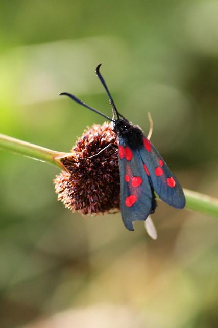 5 Spot Burnett Moth