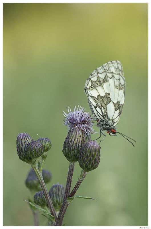 (NATURE: Faune/Insecte) Le parasité... 9393764547_af31fef639_c