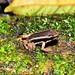 Small photo of Talamanca Rocket frog (Allobates talamancae)