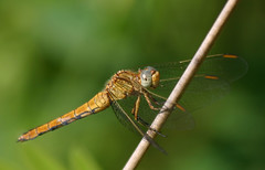 Red veined Darter Montenegro by davidearlgray