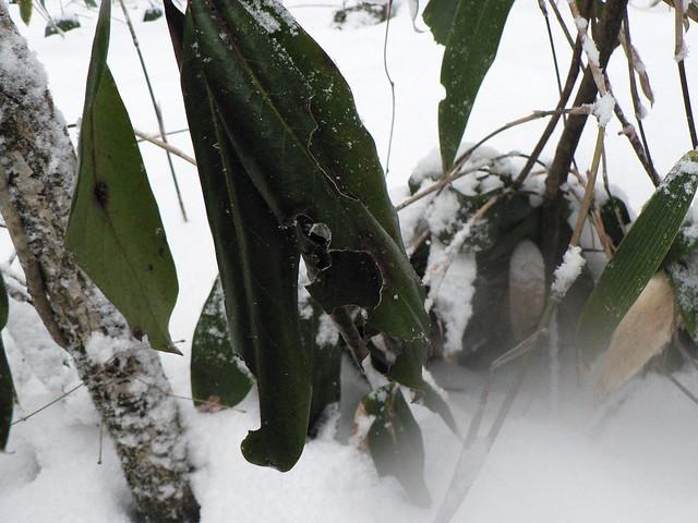 ヤマドリが食べた跡のあるエゾユズリハ
