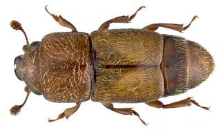 Carpophilus mutilatus Erichson, 1843