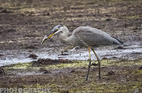Great Blue Heron Having a bit of Lunch by Ricky L. Jones Photography