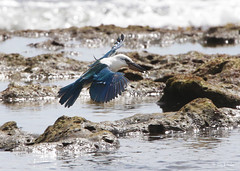 Beach Kingfisher