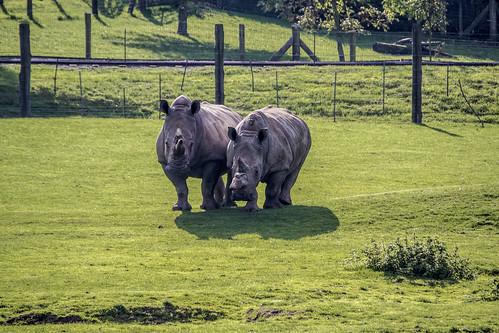 Rhinos - Marwell Wildlife