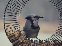 branch(0.0), chickadee(0.0), emberizidae(0.0), animal(1.0), wing(1.0), fauna(1.0), blue jay(1.0), beak(1.0), bird(1.0),