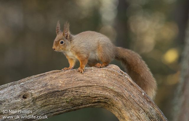 red squirrel-5