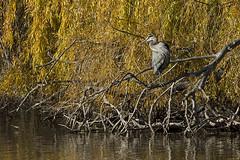 Grey Blue Heron